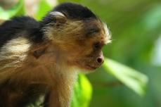 Capuchin Monkey, Cahuita, Costa Rica