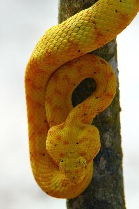 Eyelash Palm Pitviper, Costa Rica