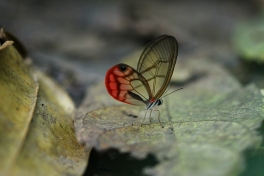 Clear Wing butterfly, Costa Rica