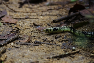 Tiger Ratsnake, Costa Rica