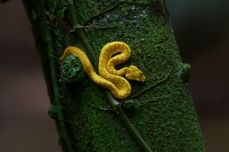 Eyelash Palm Pit Viper, Costa Rica