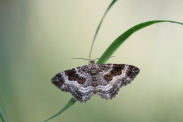 Common Carpet, Oss
