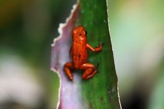 Strawberry Poison Dart Frog, Costa Rica