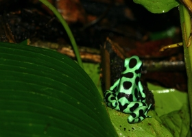 Green and black Poison Dart Frog (caribbean, Costa Rica