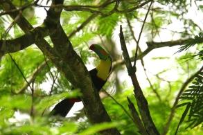 Keel-billed Toucan, Puerto Viejo, Costa Rica