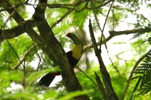 Keel-billed Toucan, Puerto Viejo, Costa Rica