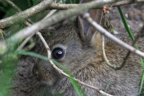 Common Rabbit, Nistelrode