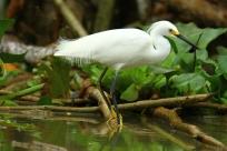 Snowy Egret, Costa Rica