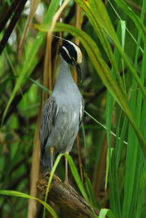 Yellow-crowned Nightheron, Costa Rica