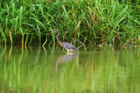 Tricolored Heron, Costa Rica