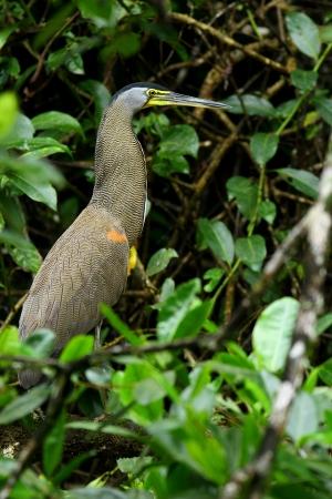 Bare-Throated Tiger-Heron, Costa Rica