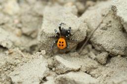 Ladybird Spider, Rare in the Netherlands