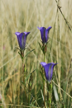 Rare Marsh Gentian with the Eggs of the equally rare Alcon Blue