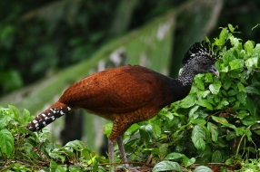 Great Curassow, Costa Rica