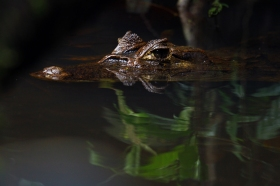 Spectacled caiman, Costa Rica