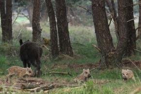Wild Boar, Hoge Veluwe