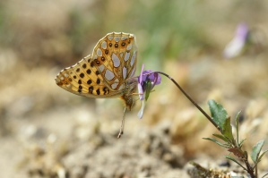 Queen of Spain Fritillary on the rare Field Pansy