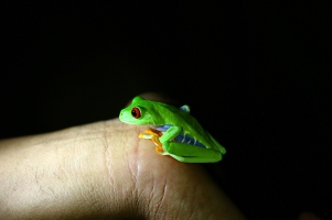 Red-eyed treefrog, Costa Rica