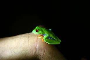 Red-eyed treefrog, Costa Rica