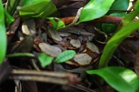 Boa Constrictor, Costa Rica