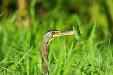 Bare-Throated Tiger Heron, Costa Rica