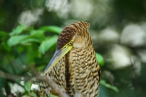 Fasciated Tiger Heron, Costa Rica