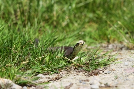 Grass Snake, one out of only 3 species of snakes in NL