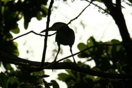 Black-crowned Night Heron, Costa Rica