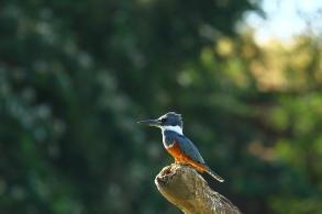 Ringed Kingfisher, Costa Rica