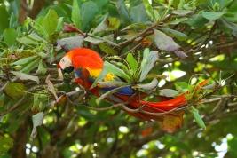 Scarlet Macaw, Costa Rica