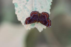Little Metalmark, Costa Rica