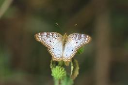 White Peacock, Costa Rica