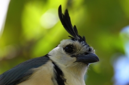 Magpie Jay, Nicaragua