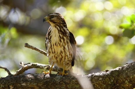 Broad-winged Hawk, Costa Rica