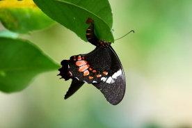 Ruby-Patched Swallowtail, Costa Rica