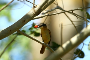 bird Unknown, Costa Rica