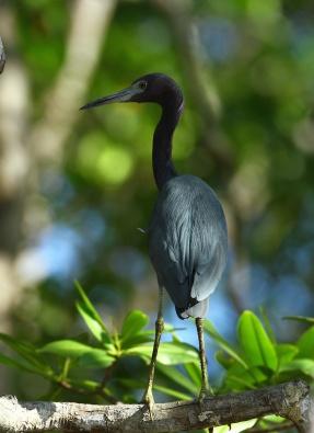Little Blue Heron, Costa Rica
