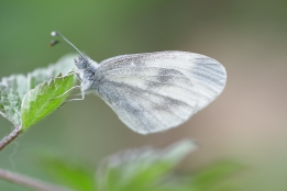 Wood White, Rare to the Netherlands