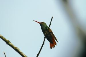 Hummingbird, Costa Rica