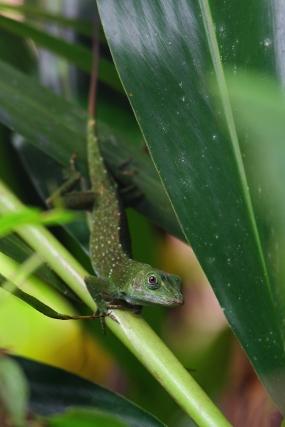 Lizard, Costa Rica