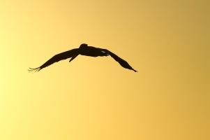 Brown Pelican, Costa Rica