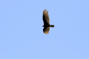 Turkey Vulture, Costa Rica