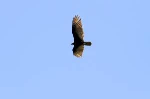 Turkey Vulture, Costa Rica