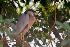 Boat-Billed Heron, Costa Rica