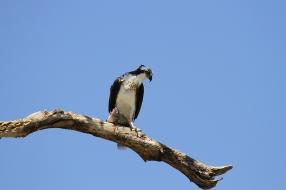 Osprey, Costa Rica