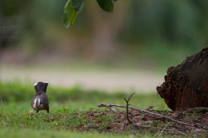 Gray-crowned Babbler