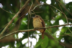 White-Whiskered Puffbird, Costa Rica