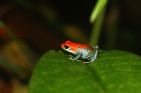 granular poison frog, Costa Rica