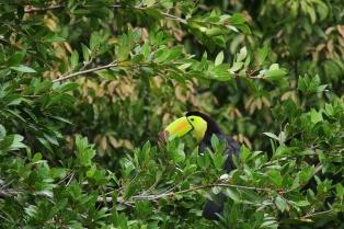 Keel-Billed Toucan, Costa Rica