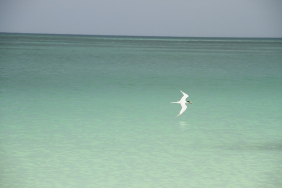 Royal Tern, Holbox Mexico
